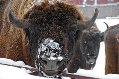 Bisonte en invierno fotografía de archivo
