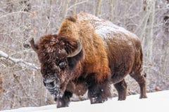 Bisonte en la nieve, parque nacional de la isla de los alces, Alberta, Canadá Foto de archivo libre de regalías