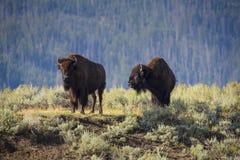 Bisonte en Lamar Valley Foto de archivo libre de regalías