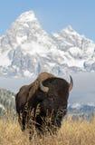 Bisonte en Tetons magnífico Imagen de archivo