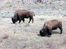 Bisonte en Yellowstone Foto de archivo