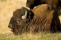 Bisonte en Yellowstone Fotos de archivo