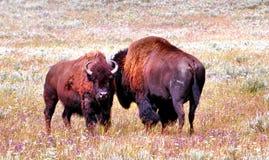 Bisonte en Yellowstone Imagen de archivo libre de regalías