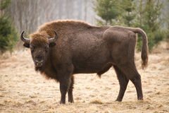 Bisonte europeo foto de archivo libre de regalías