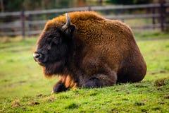 Bisonte europeo Fotografia Stock Libera da Diritti