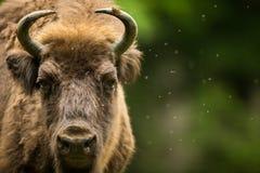 Bisonte europeo Fotografie Stock