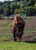 Bisonte europeo Fotos de archivo