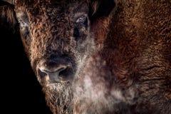 Bisonte europeo immagini stock
