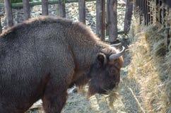 Bisonte europeo (bisonte) Fotografie Stock