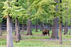 Bisonte europeo - bisonte europeo en el bosque imagen de archivo libre de regalías