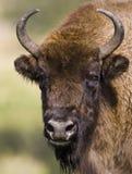 Bisonte europeo - (bonasus del bisonte) Imagen de archivo libre de regalías