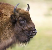 Bisonte europeo - (bonasus del bisonte) Immagine Stock