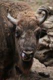 Bisonte europeo (bonasus del bisonte) Fotografia Stock