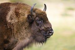 Bisonte europeo - (bonasus del bisonte) - la Polonia Fotografia Stock Libera da Diritti