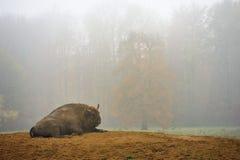 Bisonte europeo del bisonte in nebbia immagine stock libera da diritti