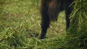 Bisonte europeo del primer que come la hierba almacen de video