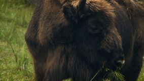 Bisonte europeo del primer que come la hierba metrajes