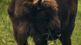 Bisonte europeo del primer que mastica la hierba almacen de metraje de vídeo