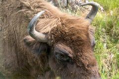 Bisonte europeo europeo del bisonte, Zubr en pasto en verano fotos de archivo