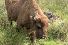 Bisonte europeo del bisonte, Zubr in pascolo di estate fotografie stock