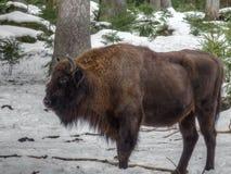 Bisonte europeo en el invierno Fotos de archivo libres de regalías