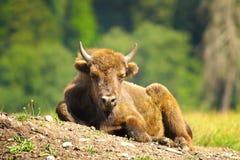 Bisonte europeo giovanile Fotografia Stock