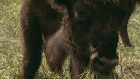 Bisonte europeo que mastica la hierba almacen de metraje de vídeo