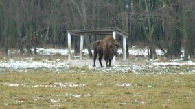 Bisonte europeo sui precedenti di fauna selvatica che respira il suo vapore dal naso, l'inverno, 4K video d archivio