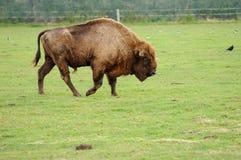 Bisonte europeo in una sosta della fauna selvatica Fotografia Stock Libera da Diritti