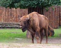 Bisonte europeo in zoo Fotografia Stock