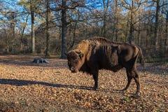 Bisonte europeu Fotos de Stock Royalty Free