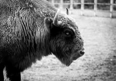 Bisonte europeu Imagens de Stock