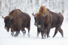 Bisonte europeu - bonasus do bisonte no Knyszyn Forest Poland imagem de stock