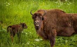 Bisonte europeu do Wisent (bonasus do bisonte) - sira de mãe a guardar seu filhote Fotos de Stock