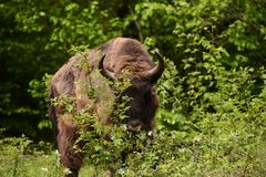 Bisonte europeu em montanhas de Tarcu Fotografia de Stock Royalty Free