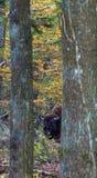 Bisonte europeu entre a floresta de Bialowieza das árvores imagens de stock royalty free