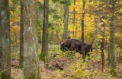 Bisonte europeu entre a floresta de Bialowieza das árvores fotos de stock royalty free
