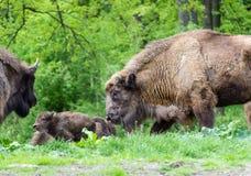 Bisonte europeu - família Foto de Stock Royalty Free