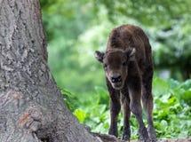 Bisonte europeu - filhote Fotos de Stock Royalty Free