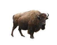 Bisonte europeu isolado Imagem de Stock