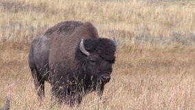 Bisonte grande de Bull filme