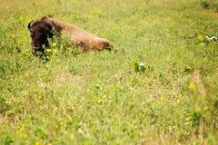 Bisonte isolato in natura Fotografia Stock