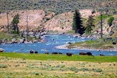 Bisonte in Lamar River Valley Fotografia Stock