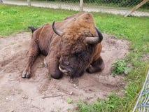 Bisonte in Lituania fotografia stock