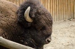Bisonte marrón grande con los cuernos en el parque zoológico de Kyiv imágenes de archivo libres de regalías