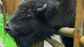 Bisonte marrón grande del mamífero con los cuernos en parque zoológico detrás de las cercas Animal salvaje almacen de video
