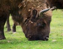Bisonte maschio che pasce Fotografia Stock Libera da Diritti