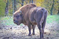 Bisonte masculino europeu que olha para trás Fotografia de Stock