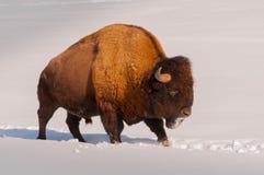 Bisonte masculino que camina en la nieve Imagen de archivo libre de regalías