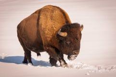 Bisonte masculino que camina en la nieve Fotografía de archivo libre de regalías